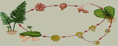 Споровые растения - 6